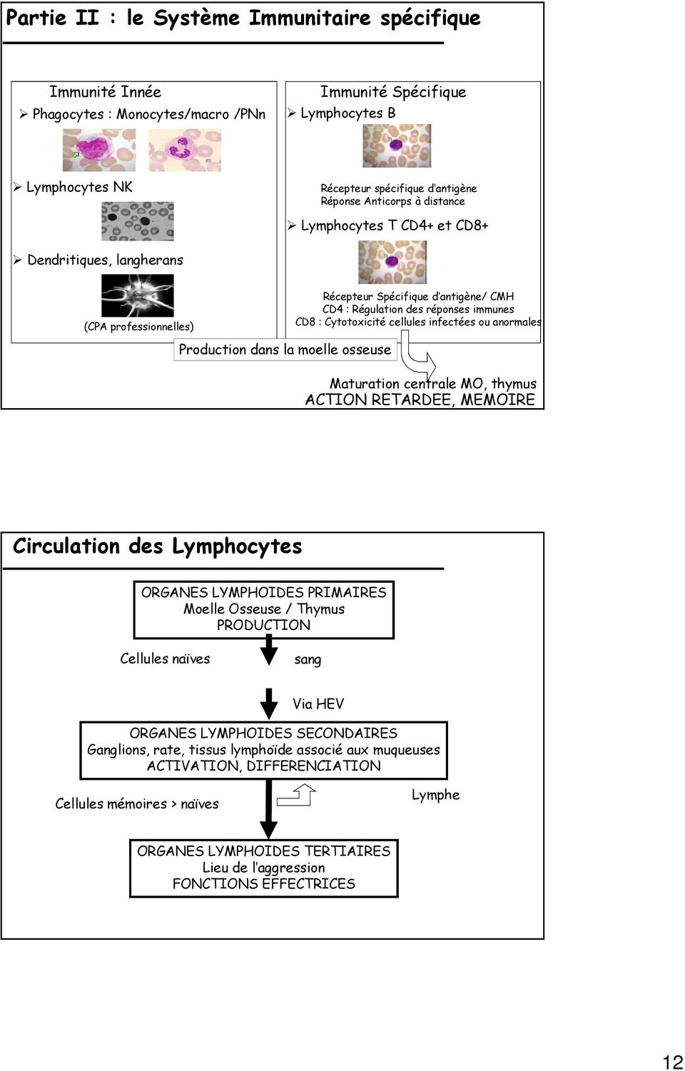 Cytotoxicité cellules infectées ou anormales Maturation centrale MO, thymus ACTION RETARDEE, MEMOIRE Circulation des Lymphocytes ORGANES LYMPHOIDES PRIMAIRES Moelle Osseuse / Thymus PRODUCTION