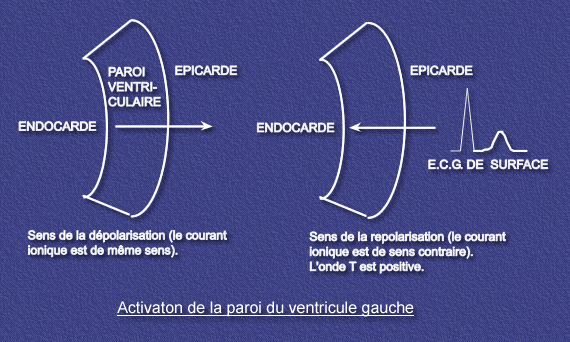 Principe de l ECG Notion de vecteur