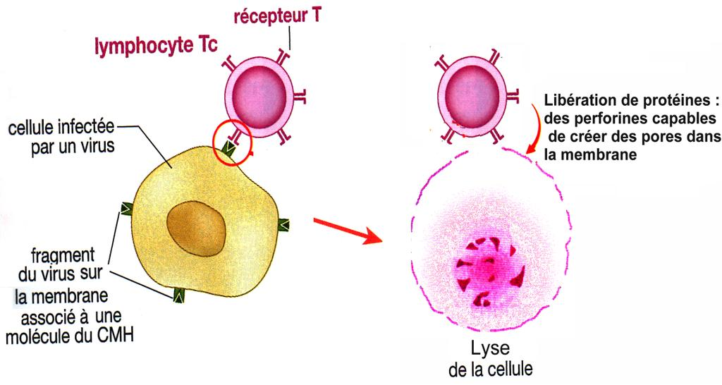 Les étapes Sélection et activation du LT8 sélectionné Multiplication et différenciation Lyse de la cellule cible infectée A B C D E F La description Reconnaissance de l Ag par les lymphocytes T8