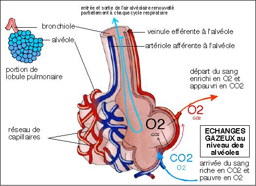 b. Respiration Interne Elle s