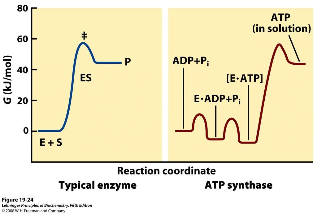 Mécanisme catalytique de l ATP synthase: ADP + Pi ATP + H20 G = +30 kj/mole en solution: R end.