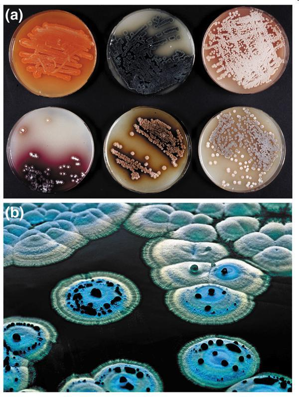 Production de métabolites secondaires colorés par différents Streptomyces.