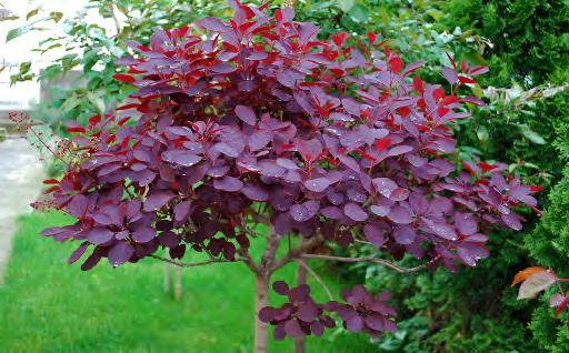 COTINUS COGGYGRIA «ROYAL PURPLE» Arbuste S apparente à un buisson arrondi.