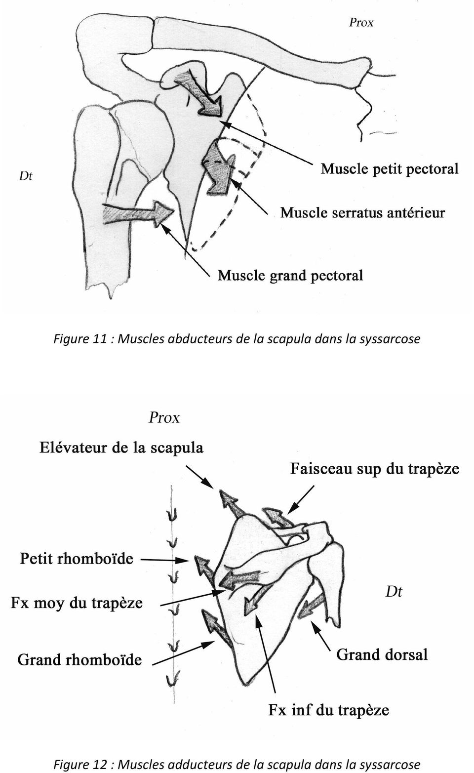 syssarcose Figure 12 : Muscles